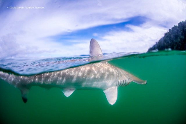 Scalloped-hammerhead-shark-at-water-surface