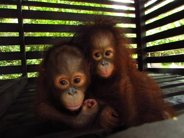 Two-young-orangutans
