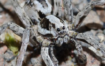 Great-fox-spider