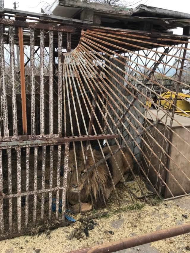 Warriors of Wildlife Ukraine lion in rusted cage