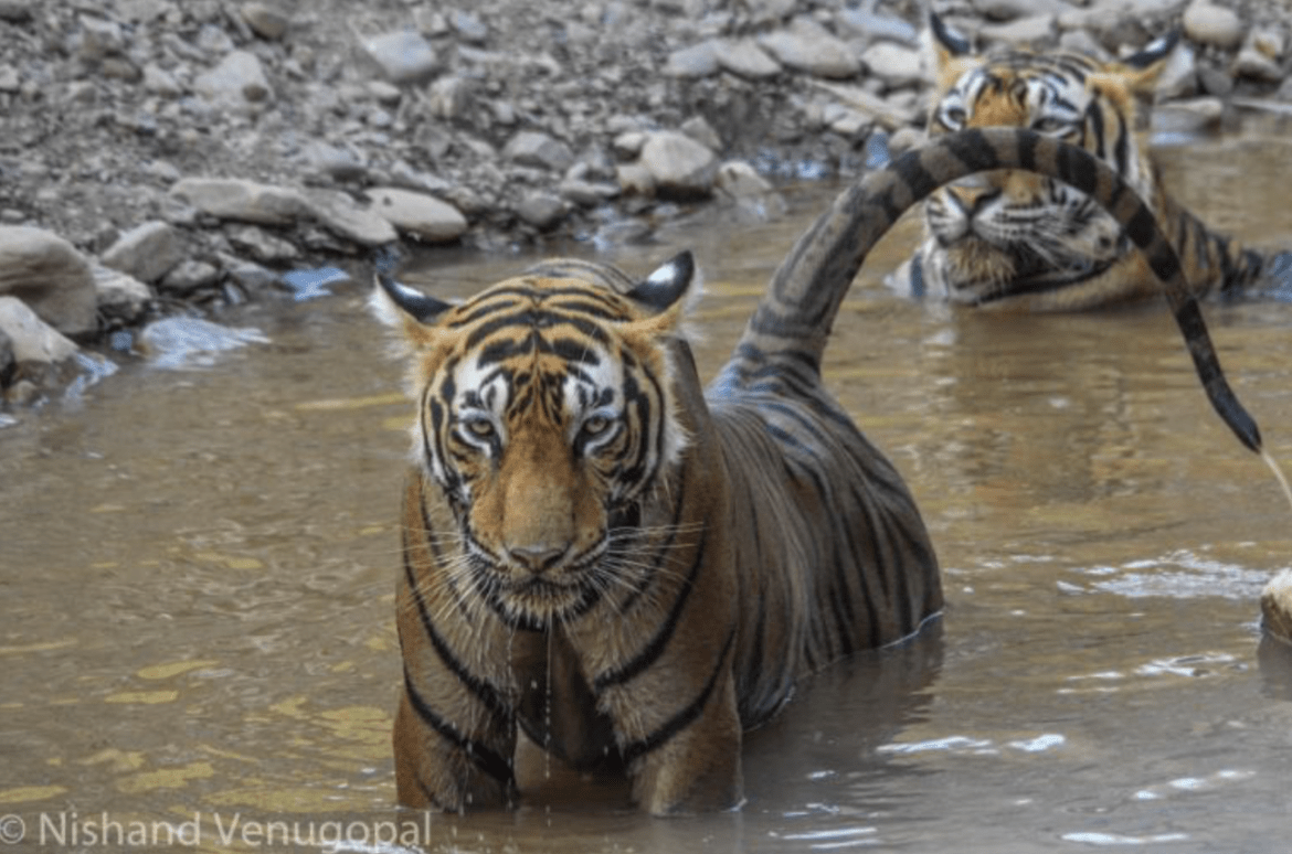 In search of the Tiger: Guest post by Nishand Venugopal