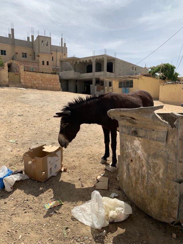 Neglected Donkey from Petra Jordan 2021 eating cardboard