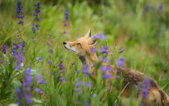 fox-in-the-flowers-by-nathan-anderson