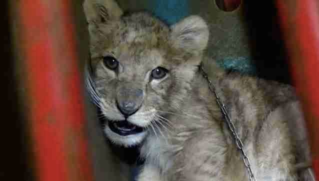 Paris lion cub pet shines a light on the shocking reality of exotic pet trade