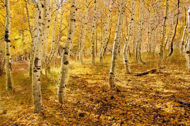 yellow-aspen-trees-in-the-fall-in-the-sierra-mountains-of-california-william-stevenson