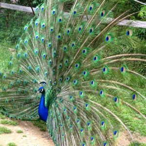 Peacock Photo from the Robson Peacock Habitat