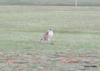 Mature Saker falcon