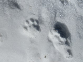 Adult snow leopard tracks. They were the size of my hand.