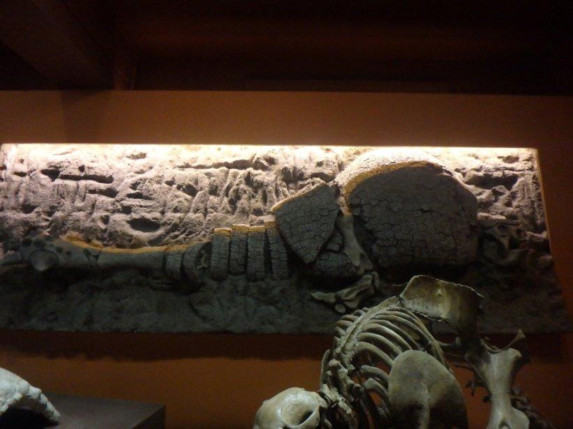 Glyptodon fossil and skeleton