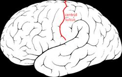 250px-Central_sulcus_diagram