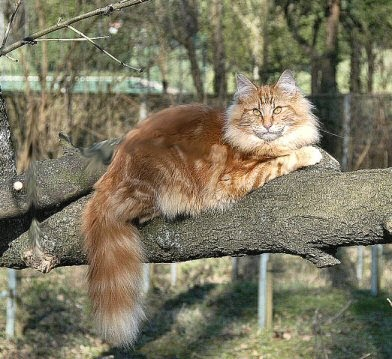 Norwegian Forest Cat Breed Pictures 01