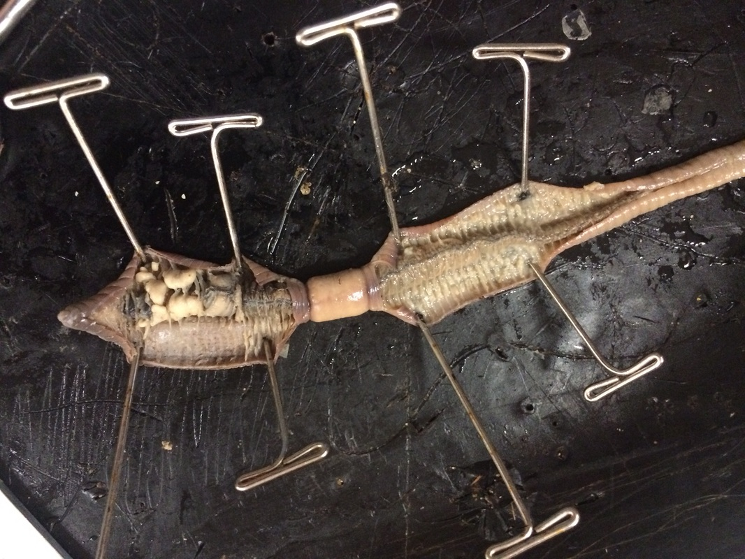 Earthworm Dissection Lab