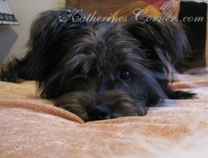 schapso dog