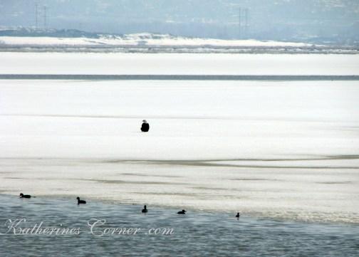 bald eagle on ice katherines corner