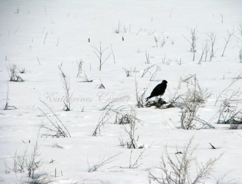 hawk in snow 2 katherines corner