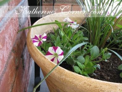 candy stripe petunias katherines corner