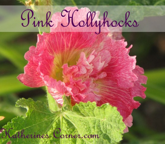 pink hollyhocks