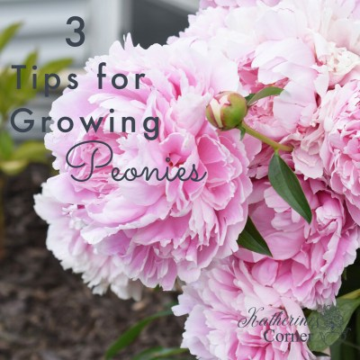 growing peonies pink peonies