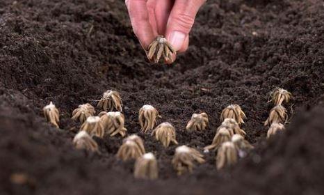 planting ranunculus corms katherines corner