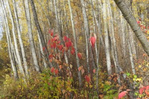 Red Leaves on Birch