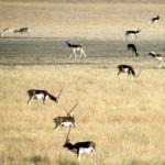 Blackbuck National Park, Velavadar Bhavnagar