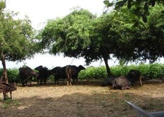 Buffellows at Satadhar Dham