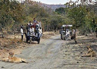 Asiatic lion on road at jungle Sasan Gir