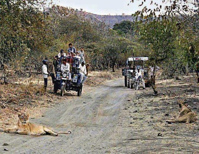 Asiatic lion on road at jungle Sasan Gir