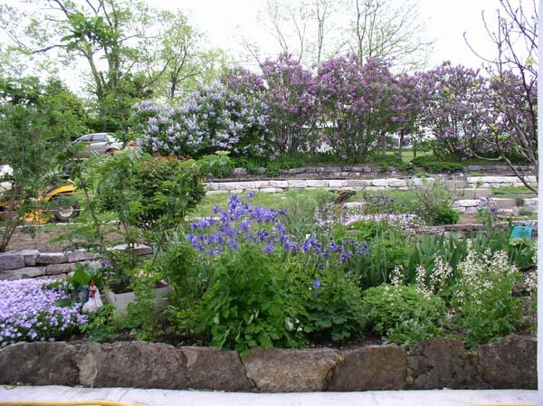 Lots of Lilacs