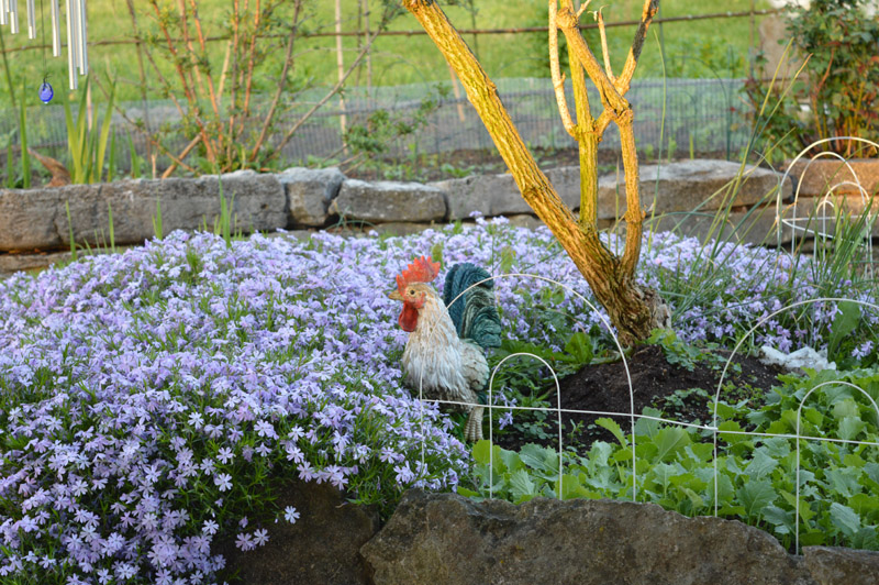Phlox and pretend rooster at Sunwise Farm and Sanctuary