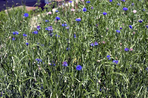 Hundreds of volunteer Bachelor Buttons in the Herb Garden