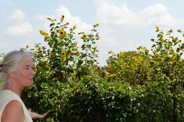 Jennifer Gleason's Sunflowers
