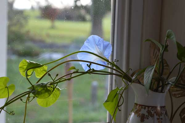 © Kathleen O'Brien, Morning glory blooming inside on a November day