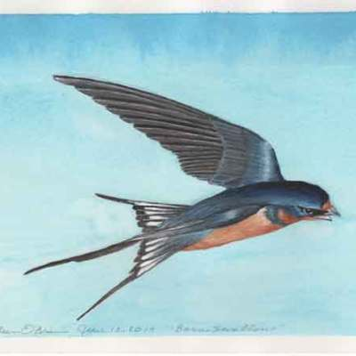 Barn Swallow, © Kathleen O'Brien