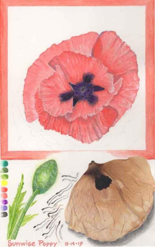 Sunwise Poppy, ©Kathleen O'Brien
