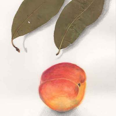 7 Equinox Peach, ©Kathleen O'Brien