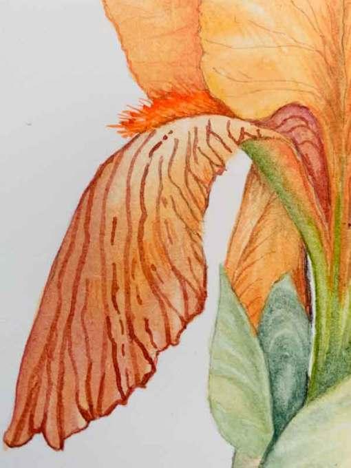 01 Last Peach Iris of the Season, detail ©Kathleen O'Brien
