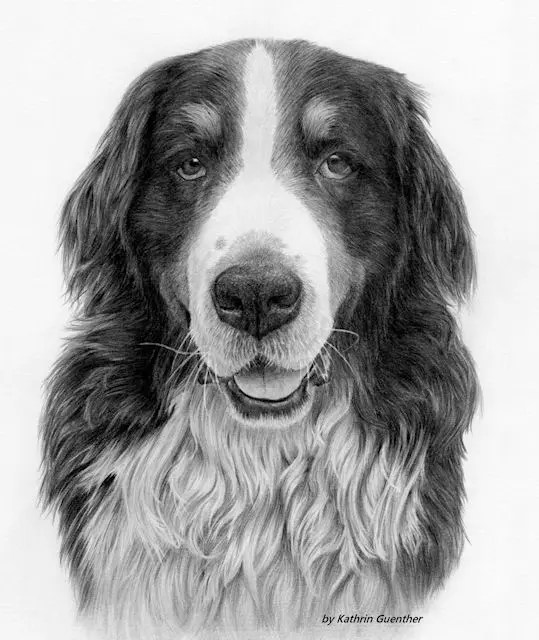 graphite pet portrait, Bernese Mountain dog drawing by Kathrin Guenther, graphite, canine, art