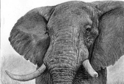 elephant, graphite drawing, Kathrin Guenther, web file