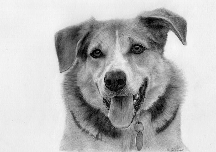 graphite pet portrait, Boo, a German Shepherd drawing by Kathrin Guenther, art, canine, graphite