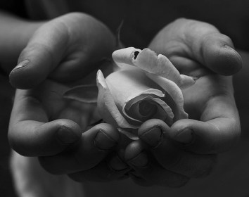 Child's_Hands_Holding_White_Rose_for_Peace_Free_Creative_Commons