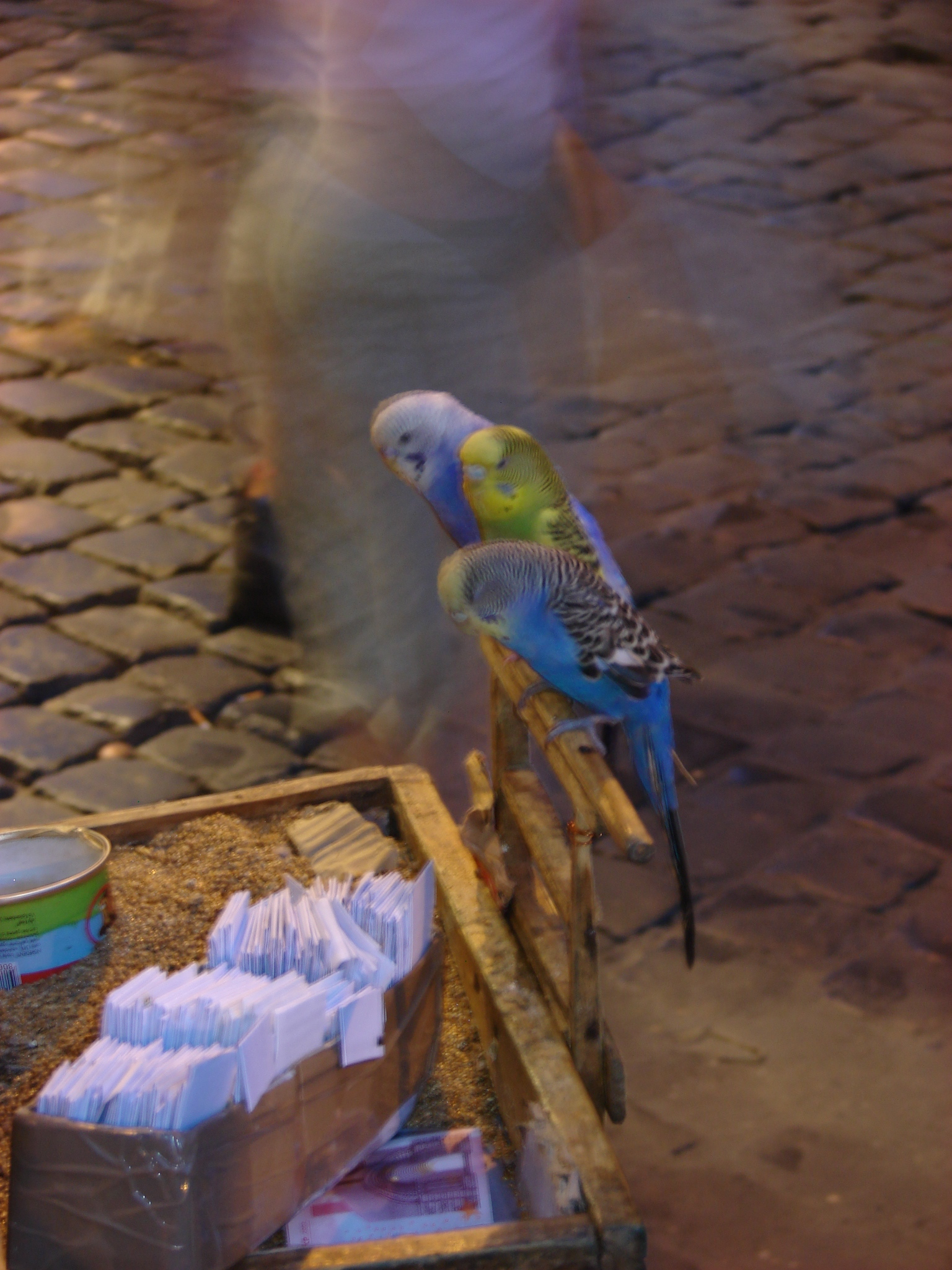 Fortune-telling parakeets. Antonio is in the front.