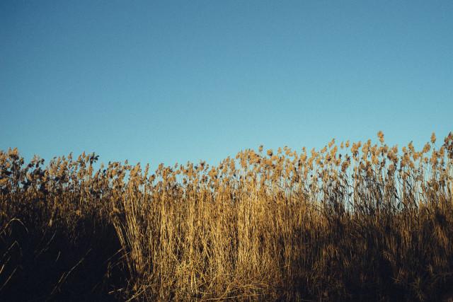 Reeds along a river