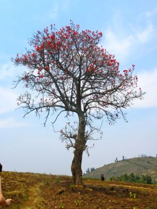Tree with flaming red flowers