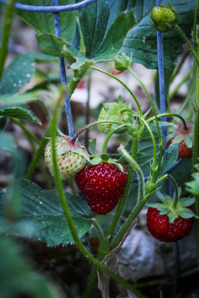 Strawberries {Katie at the Kitchen Door}
