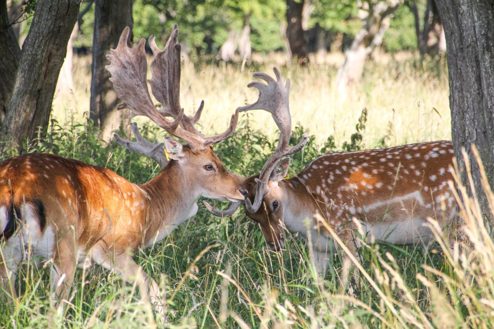 Ireland Travelogue - Fallow Deer, Phoenix Park, Dublin {Katie at the Kitchen Door}