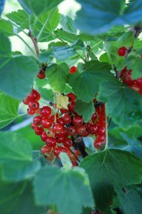 Red Currants