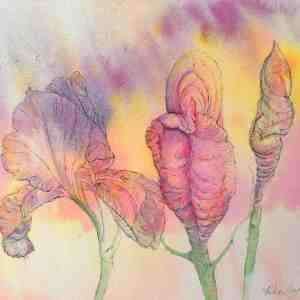 Vagina buds opening into bearded iris in full bloom drawn in ink and painted in watercolour by Katie lloyd