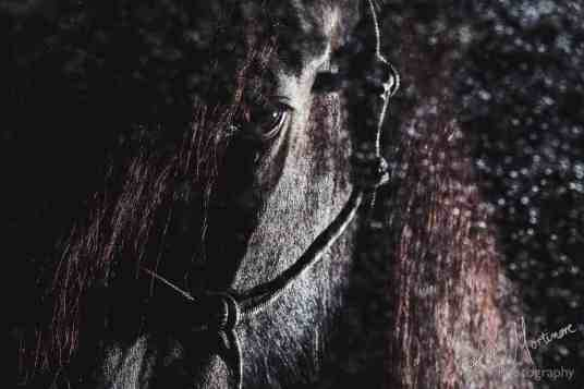 studio lit black background fine art equine print wiltshire hampshire