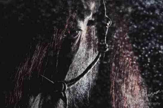 studio lit black background fine art equine print wiltshire hampshire